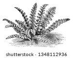 a picture showing asplenium... | Shutterstock .eps vector #1348112936