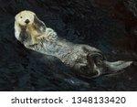 sea otter  enhydra lutris ... | Shutterstock . vector #1348133420