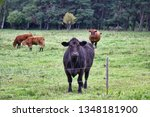 cattle in a pasture on the...   Shutterstock . vector #1348181900