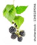 Ripe Blackberries On The Branch ...