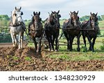 Five Draft Horses In Amish...