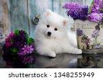 puppy white japanese spitz | Shutterstock . vector #1348255949