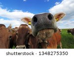 curious brown cattle on a... | Shutterstock . vector #1348275350
