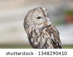 close up of tawny owl. wild... | Shutterstock . vector #1348290410