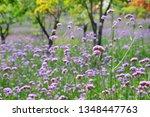 close up of verbena flowers...   Shutterstock . vector #1348447763