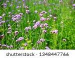 close up of verbena flowers...   Shutterstock . vector #1348447766