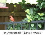 red male northern cardinal... | Shutterstock . vector #1348479383