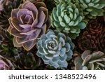 Close Up Of Succulent Echeveria ...