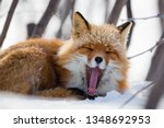 A Funny Red Fox Yawns  Opening...