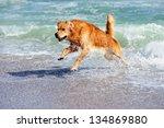 young golden retriever running... | Shutterstock . vector #134869880