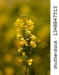 Small photo of Yellow centaury / St.John's wort (Hypericum perforatum)