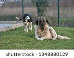Kangal Shepherd Dog And Little...