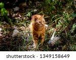 Orange Tabby Cat Walking...