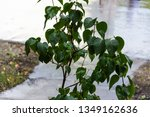 green lilac bush with raindrops ... | Shutterstock . vector #1349162636