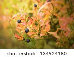 detail of a blueberry bush in... | Shutterstock . vector #134924180