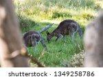 Kangaroos Feeding At Dusk In...