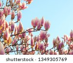 pink magnolia blossom in spring ... | Shutterstock . vector #1349305769