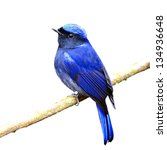 Colorful Blue Bird  Male Large...
