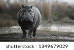 Aggressive Hippo Male Attackin...