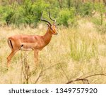 impala ram starring at the... | Shutterstock . vector #1349757920