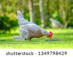 Adult Chicken Hen Seen By Her...
