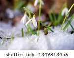snowdrops  galanthus  in the... | Shutterstock . vector #1349813456