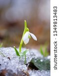 snowdrops  galanthus  in the... | Shutterstock . vector #1349813483