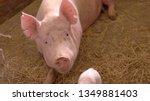 group of pigs. piggies walk on... | Shutterstock . vector #1349881403