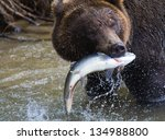 Brown Bear With A Fresh Catch...