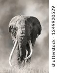 Small photo of Giant tusked bull elephant, Tusker Tim, in Amboseli, Kenya, in a cloud of dust. These super tuskers are almost poached out of existence, and only a handful remain that carry the super tusk gene.