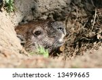 a groundhog in its hole. ottawa ... | Shutterstock . vector #13499665