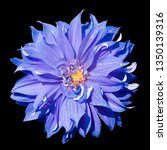 Single Purple Chrysanthemum...