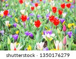 Blooming Tulips  Crocus And...