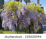 Wisteria Clings To An Iron...