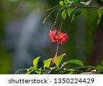 Hibiscus Schizopetalus   Common ...