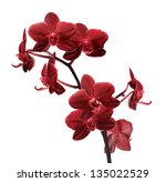Dark Red Orchid Flowers...