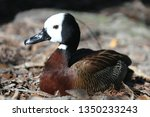 Close View Of A White Faced Duck