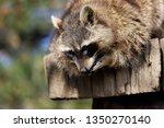 portrait of female common... | Shutterstock . vector #1350270140