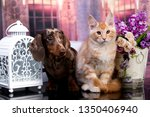 Stock photo cat and dog dachshund puppy chocolate color and kitten red 1350406940