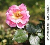 Beautiful Pink Rose  Close Up ...