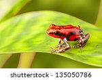 Red poison arrow frog on leaf....