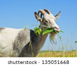 Goat Eating The Grass On The...
