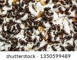 mealworm tenebrio molitor. | Shutterstock . vector #1350599489