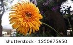 detail of yellow gerbera... | Shutterstock . vector #1350675650