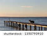 a dog on a pier overa a lake ... | Shutterstock . vector #1350793910