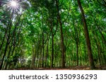 rubber forest with sunbeams.... | Shutterstock . vector #1350936293