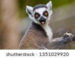 ring tailed lemur  lemur catta  | Shutterstock . vector #1351029920