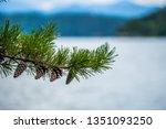 Evergreen Branchas Of Pine Tre...