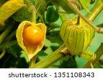 Small photo of Cape Gooseberry Physalis Peruviana or Ground cherries, winter cherry, Physalis minima, Pygmy ground cherry, Inca berry, Golden strawberry, Strawberry tomato, Husk tomato in the garden