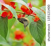 Small photo of Beautiful Sunbird, juvenile male Black-throated Sunbird (Aethopyga saturata), hanging on a branch